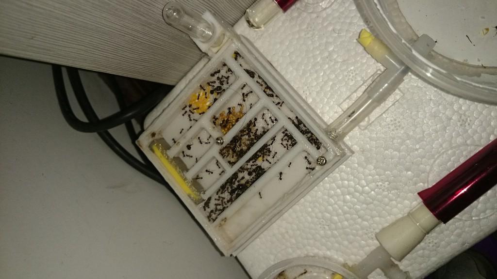 原生收获蚁在新巢中