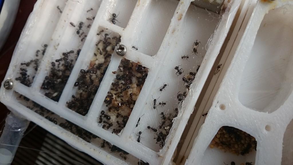 正在转移中的蚁巢,在阳光下显出金黄的颜色
