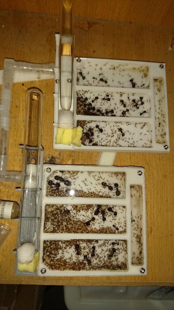 日常拍摄,另外一个巢堆有卵堆,蚁后移动到巢的入口处