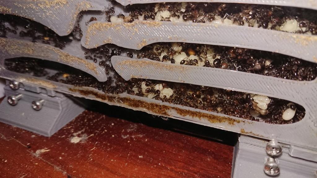 继续产生繁殖蚁
