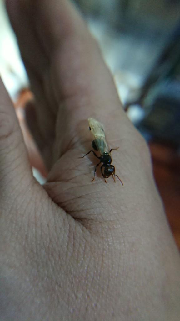 将繁殖蚁拿在手上